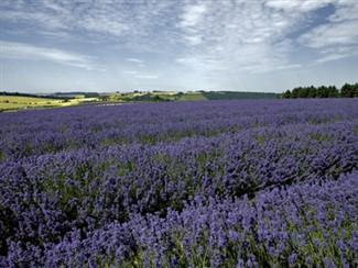 Cotswold Lavender Farm