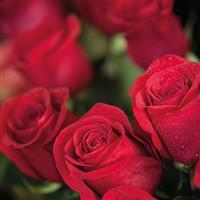 Pashley Manor Roses