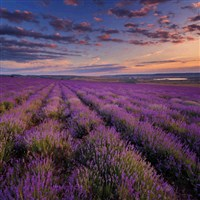 Lavender Fields of Selbourne with cream tea