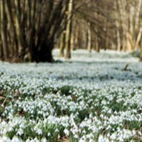 Snowdrops in Gloucestershire