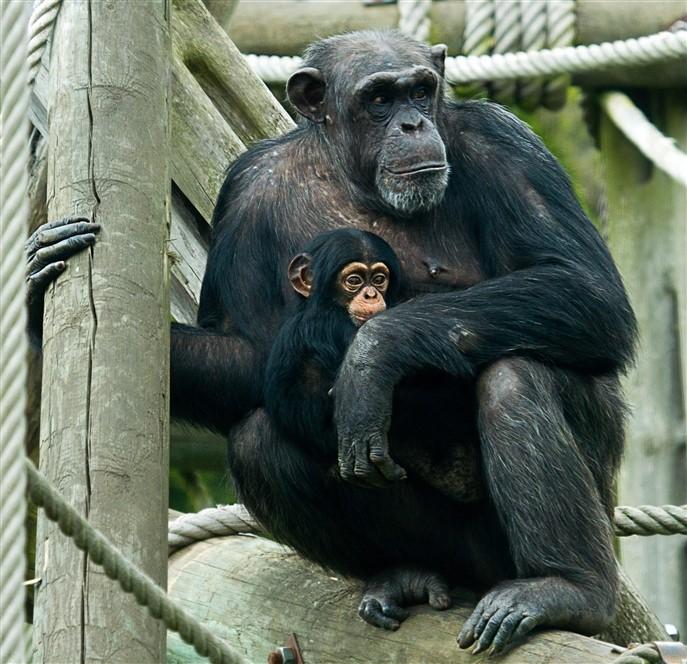 Edinburgh Zoo - Chimps