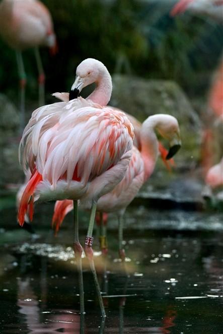 Edinburgh Zoo - Flamingos
