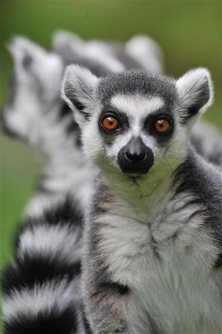 Edinburgh Zoo - Lemur