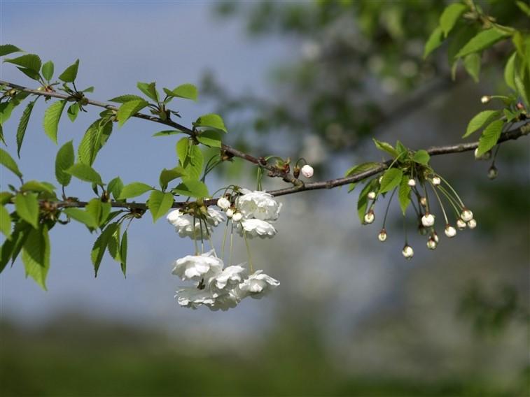 Evesham Apple Blossom close-up