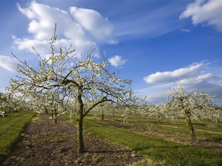 Evesham Apple Orchards