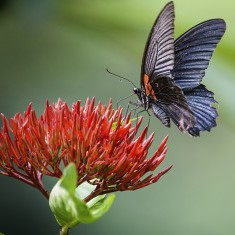 Mormon Butterfly on red Flower