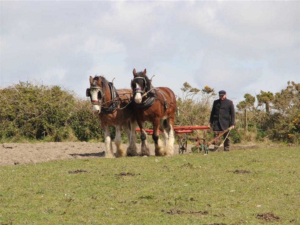 Traditional farming at Cregneash