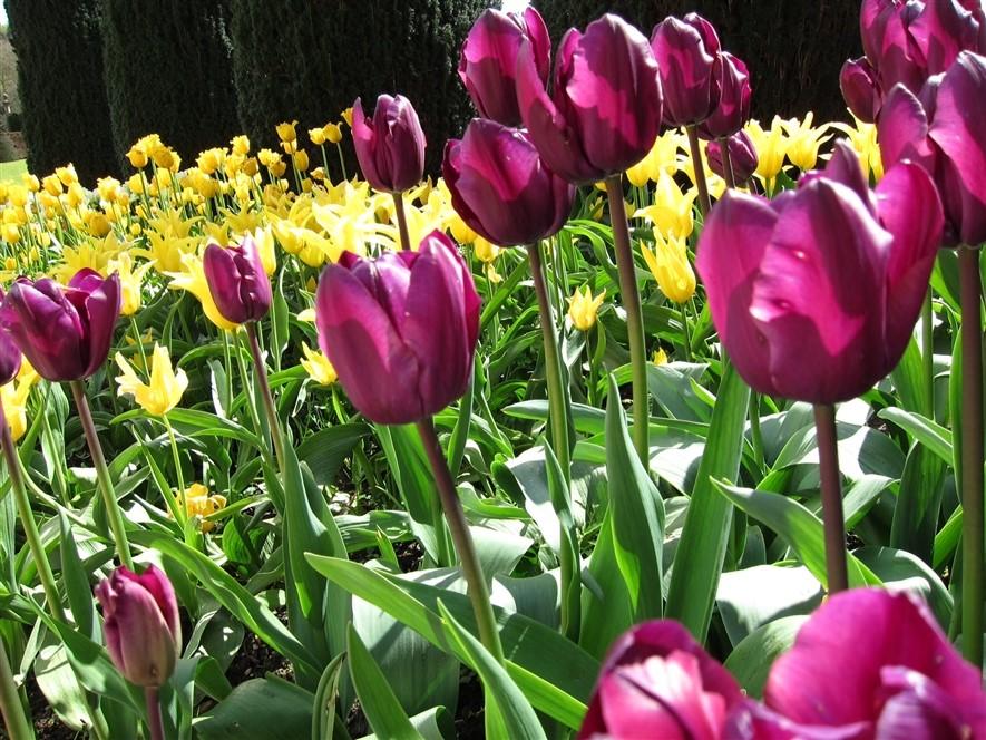 Tulips © Jane Martin