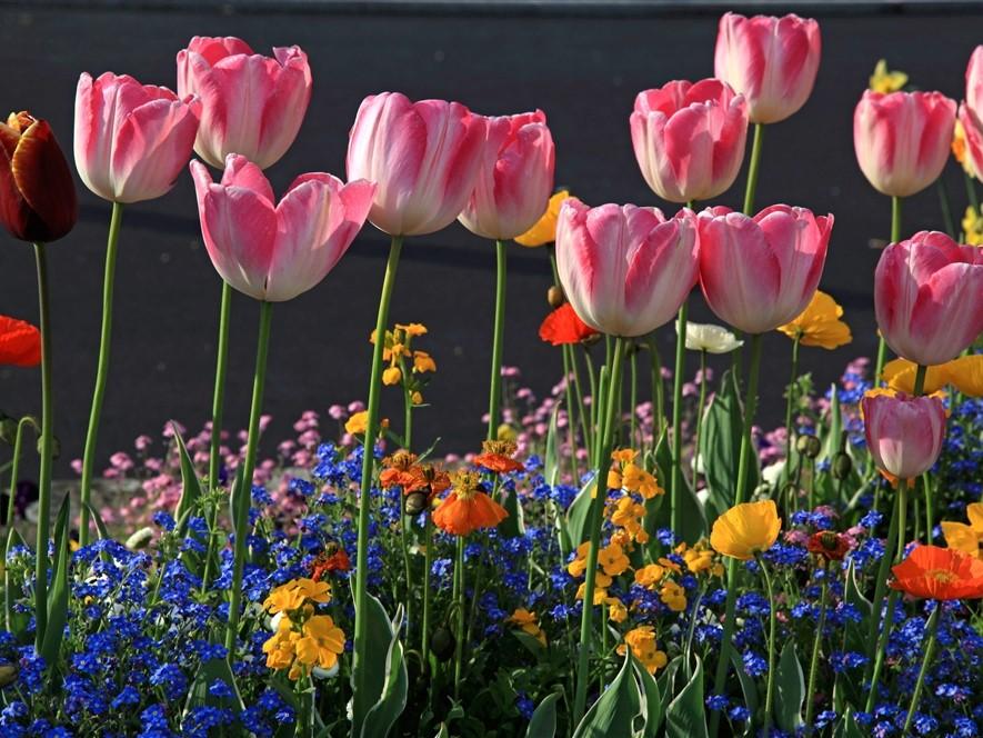 Tulips & Flowers