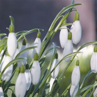 Snowdrops at Kingston Lacy